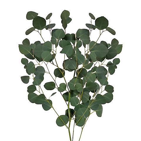 Inbloom Silver Dollar Eucalyptus 40 Stems Bjs Wholesale Club