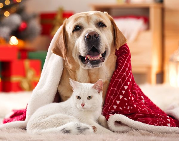 A golden retriever and a white cat laying together under a cozy red blanket with a holiday tree and presents in the background.